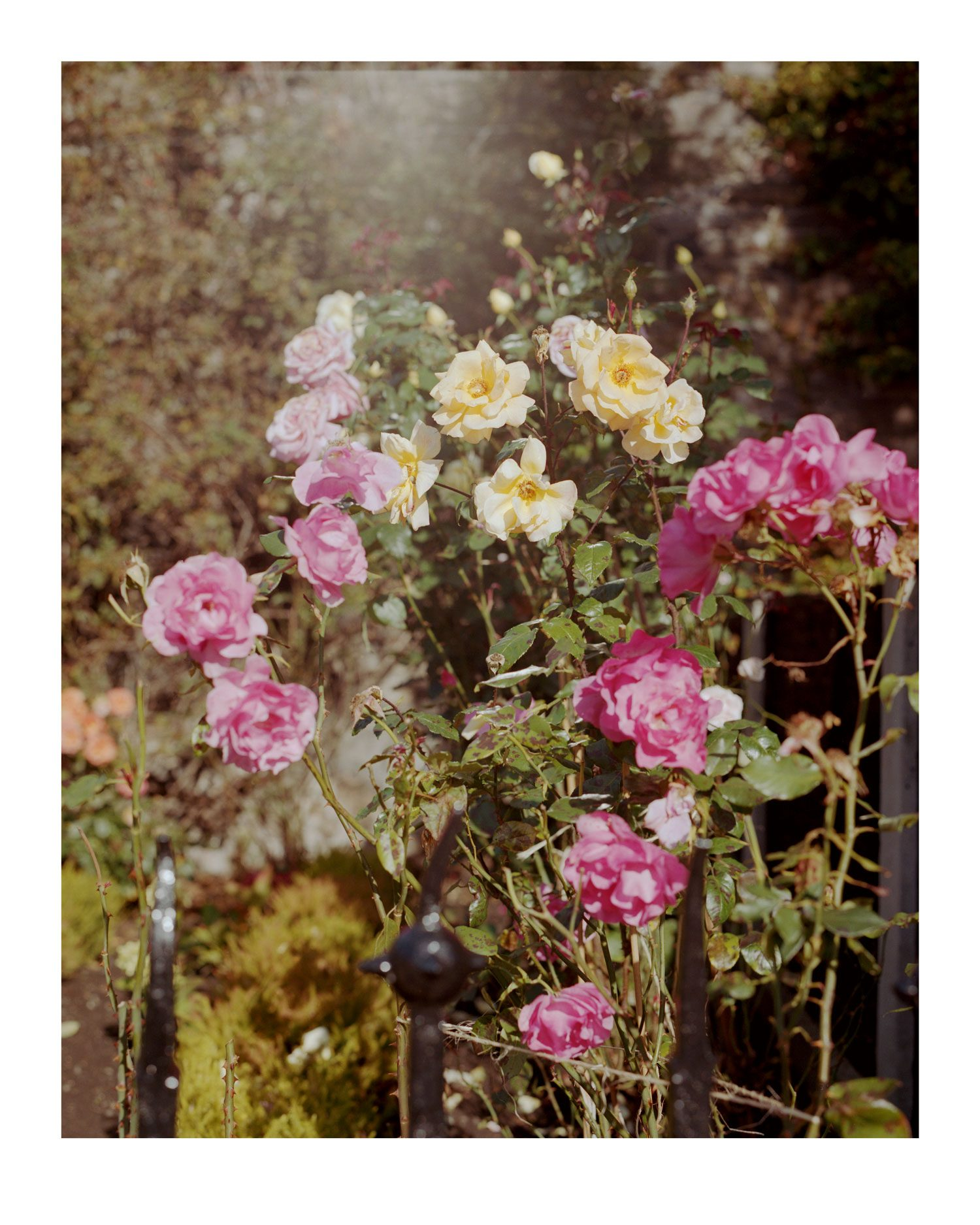 Hang Tough Garden Roses